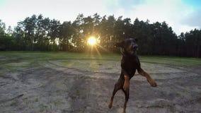 Il grande doberman del cane nero prende in moto la palla al tramonto stock footage