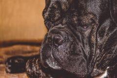 Il grande e cane sonnolento nero si trova a casa Razza di Kan Corso, bulldog francese Museruola adorabile pet fotografia stock libera da diritti