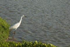 Il grande Egret Immagine Stock