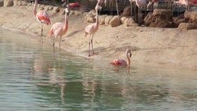 Il grande fenicottero rosa pulisce le piume nel parco naturale dello stagno archivi video