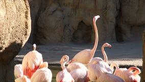 Il grande fenicottero rosa pulisce le piume nel parco naturale dello stagno stock footage