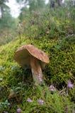 Il grande fungo Fotografia Stock Libera da Diritti