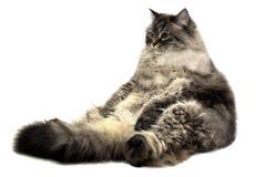 Il grande gatto domestico siberiano Fotografie Stock