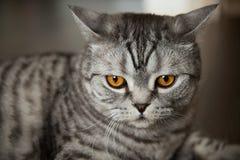 Il grande gatto grigio della razza britannica si trova sul pavimento fotografie stock libere da diritti