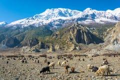 Il grande gregge delle pecore e le capre nella montagna abbelliscono, il Nepal Immagine Stock Libera da Diritti