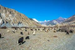Il grande gregge delle pecore e le capre nella montagna abbelliscono, il Nepal Immagine Stock