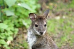 Il grande image de la petite position de kangourou Photos stock