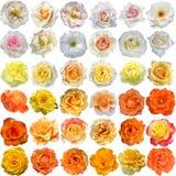Il grande insieme delle fioriture delle rose Immagine Stock Libera da Diritti