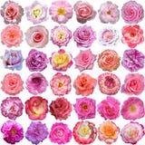 Il grande insieme delle fioriture delle rose Fotografia Stock