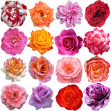 Il grande insieme delle rose Immagini Stock Libere da Diritti