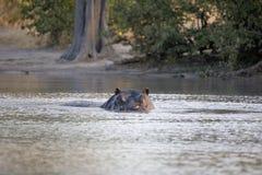 Il grande ippopotamo arrabbiato, amphibius dell'ippopotamo, difende il territorio, nel parco nazionale di Moremi, il Botswana fotografie stock libere da diritti