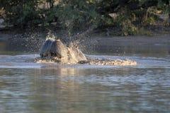 Il grande ippopotamo arrabbiato, amphibius dell'ippopotamo, difende il territorio, nel parco nazionale di Moremi, il Botswana immagini stock libere da diritti