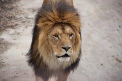 Il grande leone nello zoo fotografie stock libere da diritti