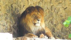 Il grande leone sta facendo un pisolino in natura video d archivio