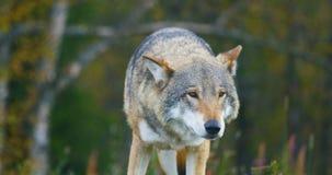 Il grande lupo grigio odora dopo i rivali ed il pericolo nella foresta video d archivio