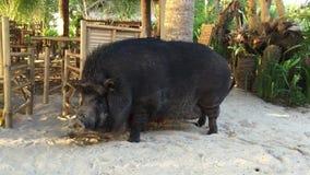 Il grande maiale nero sta camminando dalla sabbia video d archivio