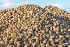 Il grande mucchio con molti ha raccolto le barbabietole da zucchero Fotografia Stock Libera da Diritti