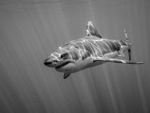 Il grande nuoto dello squalo bianco nell'oceano Pacifico sotto il sole rays Fotografie Stock Libere da Diritti