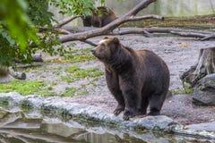 Il grande orso bruno sta sulle pietre vicino ad un lago dell'acqua, primo piano Fotografia Stock