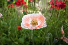 Il grande papavero arancio isolato in fiore immagini stock