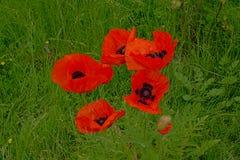 Il grande papavero rosso luminoso fiorisce in alta erba verde Immagine Stock