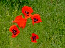 Il grande papavero rosso luminoso fiorisce con i gocciolamenti della pioggia in alta erba verde Fotografie Stock
