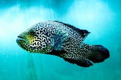 Il grande pesce in chiara e chiara acqua blu, si chiude sulla bellezza del mondo subacqueo immagini stock libere da diritti