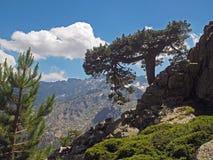 Il grande pino sulla roccia con neve ha macchiato il backround delle montagne immagine stock