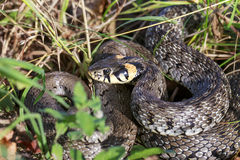 Il grande serpente si trova nell'erba Immagini Stock Libere da Diritti