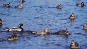 Il grande stormo che galleggia sul lago, Mallard dell'anatra ducks il nuoto in acqua video d archivio
