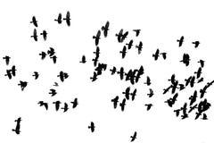 Il grande stormo dei corvi neri che volano sul bianco ha isolato il backgro Fotografia Stock