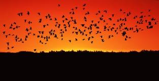 il grande stormo del nero rooks il volo contro il rosso luminoso di Th Fotografia Stock