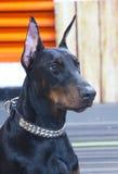 Il grande supporto dei capelli neri del cane meravigliosamente Fotografia Stock Libera da Diritti