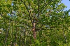 Il grande un'alta quercia Fotografia Stock