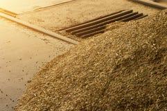 Il grano appena raccolto è versato nel bunker per l'elaborazione, elaborazione del grano su una chiamata, stoccaggio di grano, no fotografia stock libera da diritti