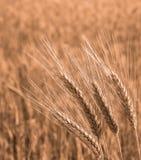 Il grano dorato sta sviluppandosi sul campo Fotografie Stock