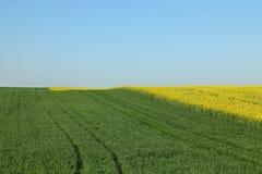 Il grano ed il seme di ravizzone sistema con cielo blu in primavera Immagine Stock