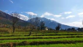 Il grano fresco germoglia sull'agricoltura indiana organica del terreno coltivabile del terrazzo in Himalaya a distanza Immagine Stock