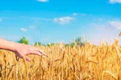 Il grano germoglia in una mano del ` s dell'agricoltore cultura del grano e primo piano del cielo blu Un campo dorato Bella vista Immagine Stock