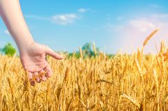 Il grano germoglia in una mano del ` s dell'agricoltore cultura del grano e primo piano del cielo blu Un campo dorato Bella vista Immagini Stock Libere da Diritti