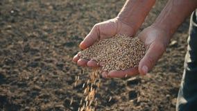 Il grano nella mano di un agricoltore sui precedenti della terra, grano è versato tramite le dita di un uomo nel campo stock footage