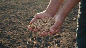 Il grano nella mano di un agricoltore sui precedenti della terra, grano è versato tramite le dita di un uomo nel campo archivi video