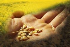 Il grano semina la mano Fotografie Stock Libere da Diritti