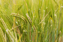 Il grano si sviluppa sul campo Fotografia Stock Libera da Diritti