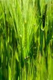 Il granulo verde del cereale pianta i punti crescenti sulla sorgente Fotografie Stock