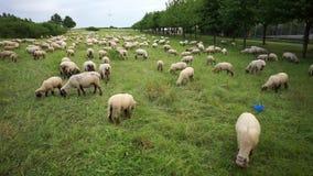 Il gregge degli agnelli è pascuto su un prato sul sobborgo della città di Hannover video d archivio