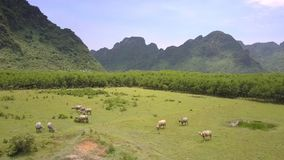 Il gregge dei bufali d'acqua pasce sulla vista aerea verde del prato archivi video