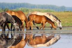 Il gregge dei cavalli è acqua potabile sul prato Fotografia Stock