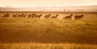 Il gregge dei cavalli galoppa attraverso un campo aperto nel sole Fotografia Stock