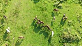 Il gregge dei cavalli pasce ed ha un resto su un prato il giorno soleggiato dell'estate Vita dei mammiferi in natura Vista aerea  stock footage